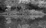 cotter casuarina reflection bw.JPG
