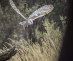 16_Barn owl.JPG