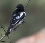 14_Male hooded robin.JPG