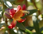 18_Eremophila neglecta, Neglected tar bush.JPG