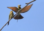 0P8A1739bee eaters 2final_1_2.JPG