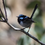 5 Superb Fairy-wren ANBG_1_2.JPG