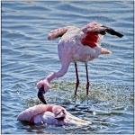 Flamingo19_1_2.JPG