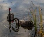 Iain Cole - Tuggeranong wetlands.jpg