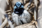 Mark S 007 Male Superb Fairy Wren_smaller.JPG