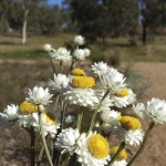 Vicki Wooley 1 Ammobium alatum - Winged Everlasting_smaller.JPG