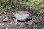 Mark Stevenson 104 Red Browed Finch.JPG