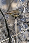 Mark Stevenson 105 White Browed Scrubwren.JPG