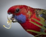 Rod_Burgess_3_Crimson Rosella.JPG