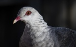 Rod_Burgess_4_White headed pigeon.JPG