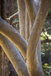 Rod_Burgess_5_Spotted Gum.JPG