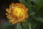 Warren_Hicks_01_Everlasting daisy ANBG.JPG