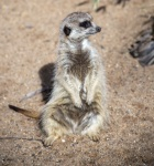 Warren_Hicks_04_Meerkats_WP_Zoo.JPG