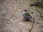 Warren_Hicks_05_Red-browed_finch_WP_Zoo.JPG