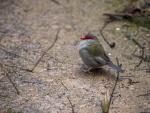 Warren_Hicks_05_Red-browed_finch_WP_Zoo.JPG