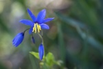 Warren_Hicks_07_Warrumbungles_Nodding blue lilly_(a herb)_Stypandra glauca.JPG