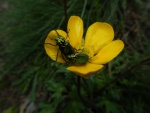 Giles West - Frisky beetles on native buttercup.jpeg
