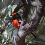 Red capped Robin Weetootla Gorge camping area Gammon Ra.jpg