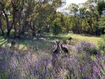 helen hall - 4-Kangaroos  on Mt Taylor.jpeg