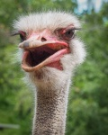 JenThompson-3-Ostrich.jpeg