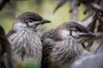 Rod_Burgess 09 Young red wattlebirds.jpeg
