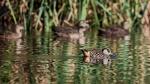 Shane Baker_03_Pink Eared Duck_8507685.jpeg