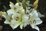 Giles West White lillies.jpg