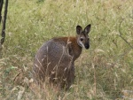 Laurie 3 Redneck Wallaby Mulligans Flat copy.jpg