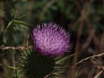 Laurie 7 Thistle Coloniser Shanahans Mtn copy.jpg