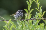 Tony Clark 1 New Holland Honeyeater.jpg