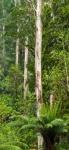 G. Tall Trees (686x1500).jpg