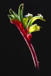 KangarooPaw on Black_6x4 (1000x1500).jpg