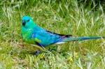 Turquoise Parrot-1.jpg
