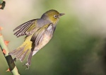 302A6379silvereye Sunday 30 April 2017 resized.jpg