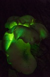 2017_05_13 -South Durras -30 sec f5.3, ISO 1600-glowing fungi (678x1024).jpg