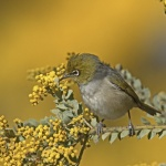 302A2656silvereye 2Thursday 31 Aug 17mid.JPG