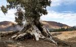 Cazneaux Tree (14)mid.JPG