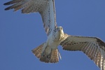 302A6978male ospreysat arvo 25 nov-smaller.JPG