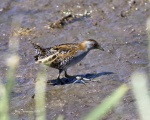 Ballon's Crake_4Jan2018_s.JPG