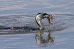 little pied cormorant_s_1.JPG