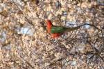 King Parrot (M).JPG