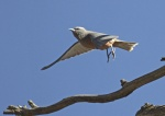 0P8A5820Wh browed wood swallow final_resizededited-1_1_2.JPG
