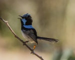 6 Superb Fairy-wren_1_2.JPG