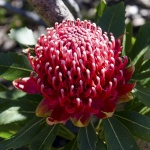 RED WARATAH 2,  NATIONAL BOTANTIC GARDENS-6761_1_2.JPG