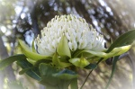 WHITE WARATAH, NATIONAL BOTANTIC GARDENS-6745_1_2.JPG
