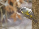 Yellow Robin_1_2.JPG