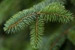 Raindrop on pine leaf_2.JPG