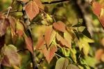 Ash-leaved Maple.jpg