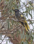 Reg Johnson_Regent Honeyeater_2.JPG