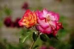 S Sukumar Rose_smaller.JPG